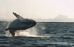 Whale breaching with Wollumbin in the background