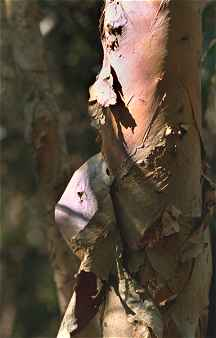 Paperbark tree photo copyright by David Palmer