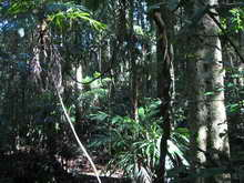 Indicative Big Scrub rainforest