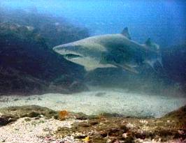 Grey nurse shark photo courtesy Tim Hochgrebe