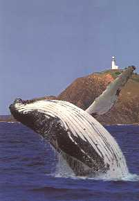 copyright.  Humpback whale breaching off Cape Byron Lighthouse